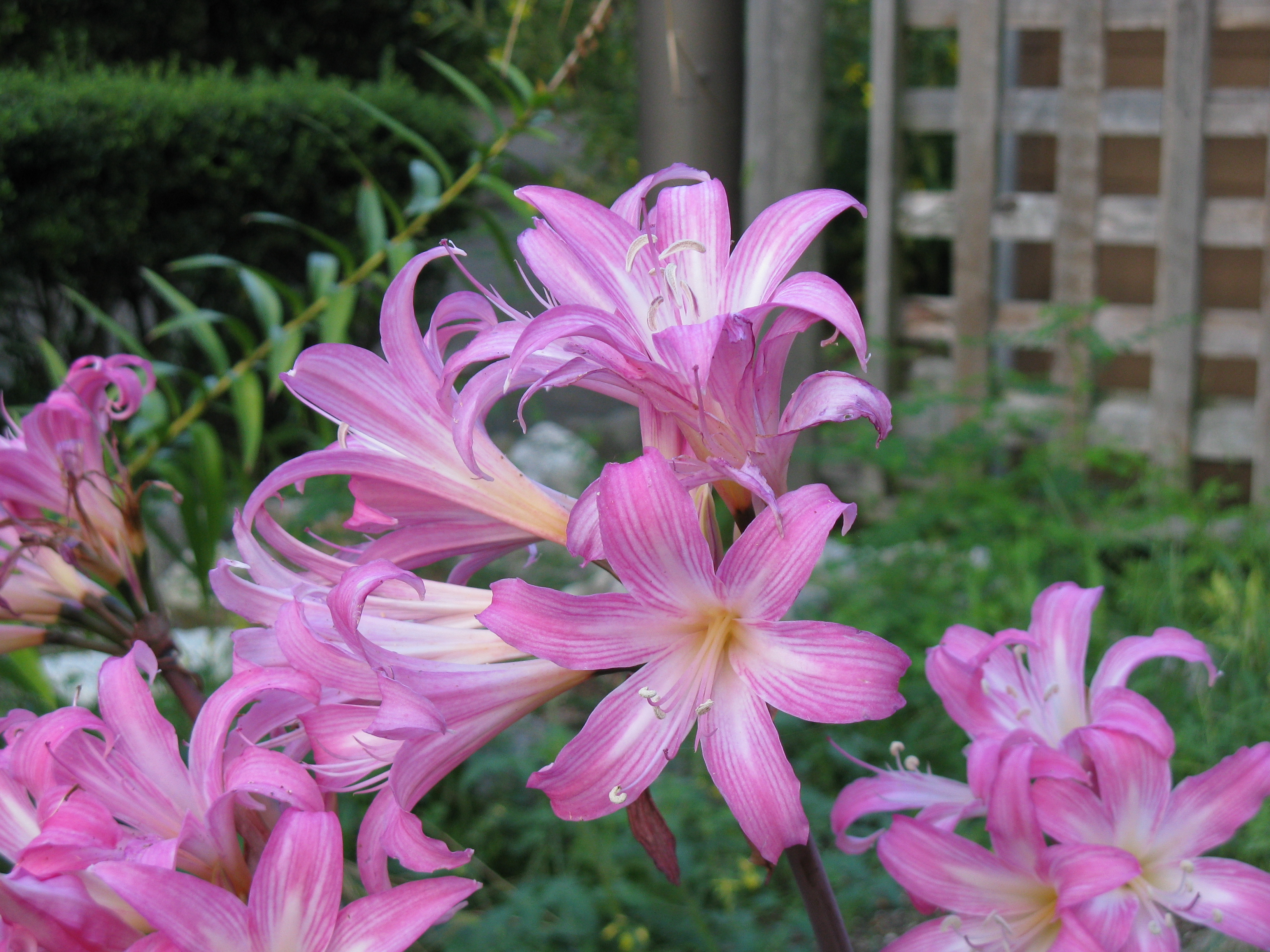 File amaryllis belladonna wikimedia commons for Bulbes amaryllis belladonna