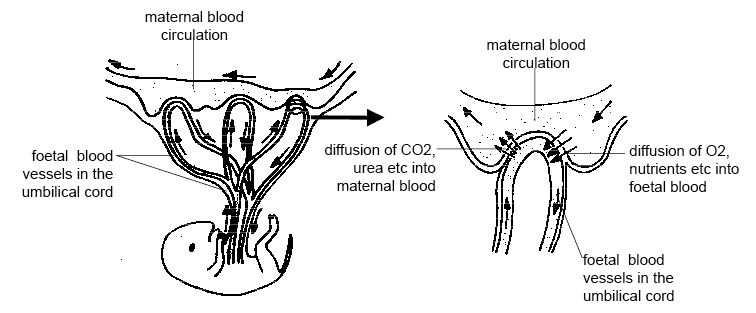 Anatomy and physiology of animals Maternal and foetal blood flow in the placenta.jpg