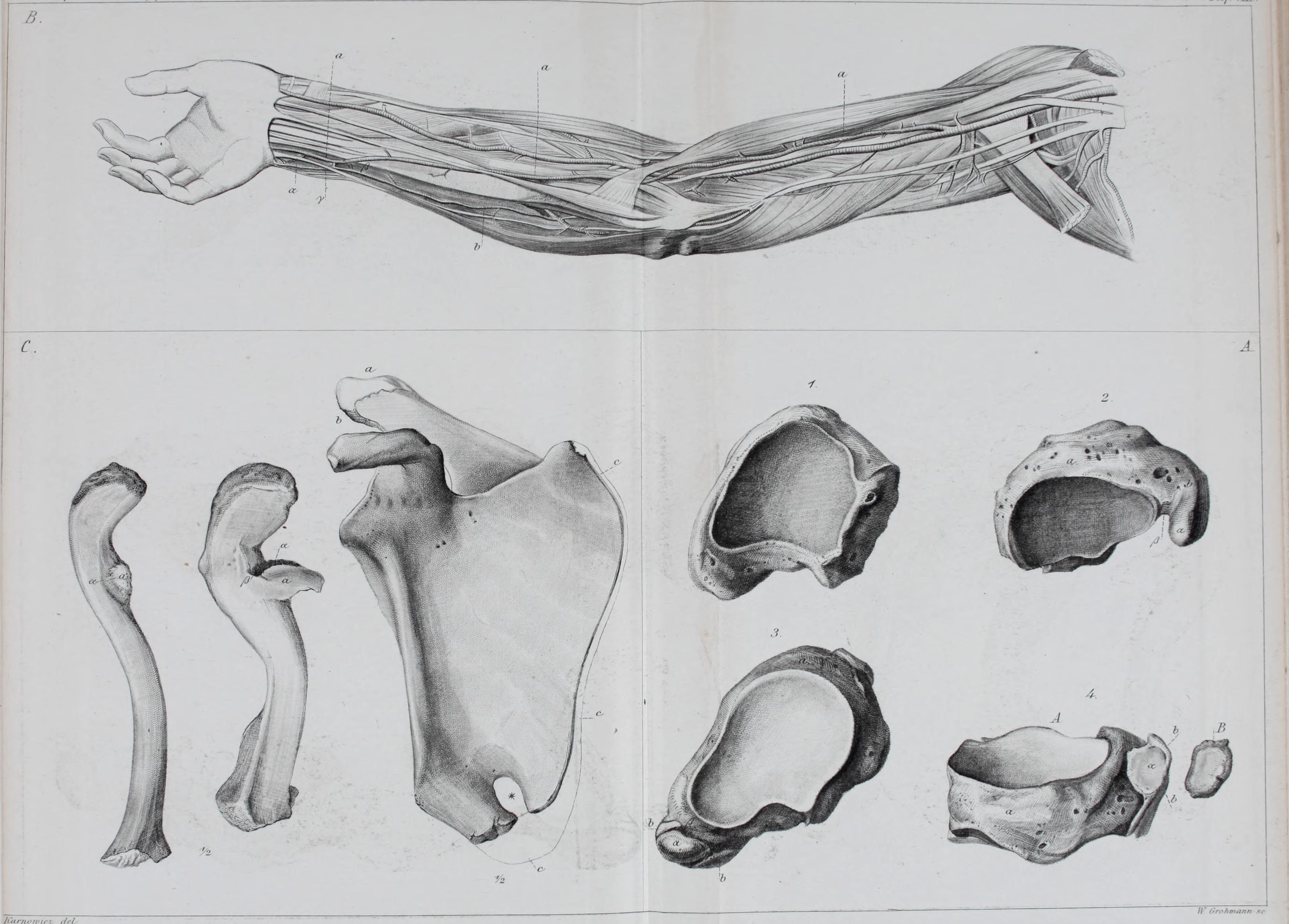 Großartig Anatomie Und Physiologie Wiki Galerie - Menschliche ...