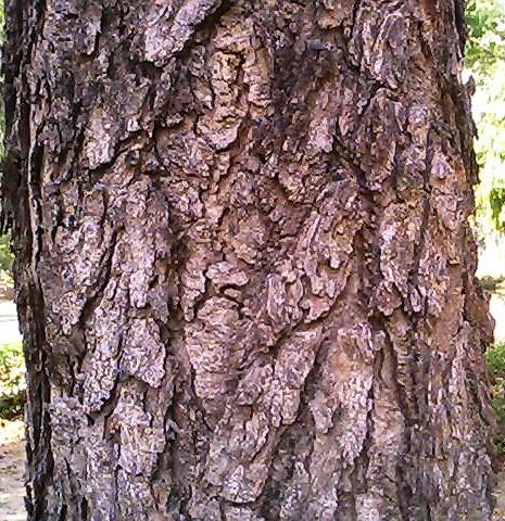 പ്രമാണം:Bark of Hardwickia binata.jpg