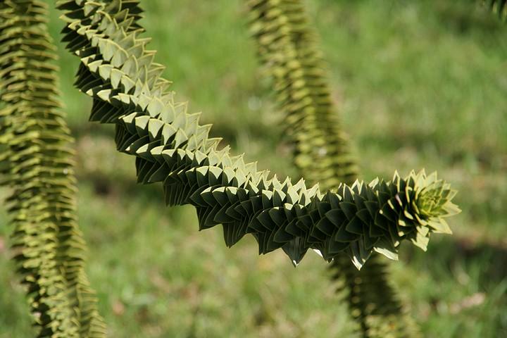 details d'une branche d'araucaria