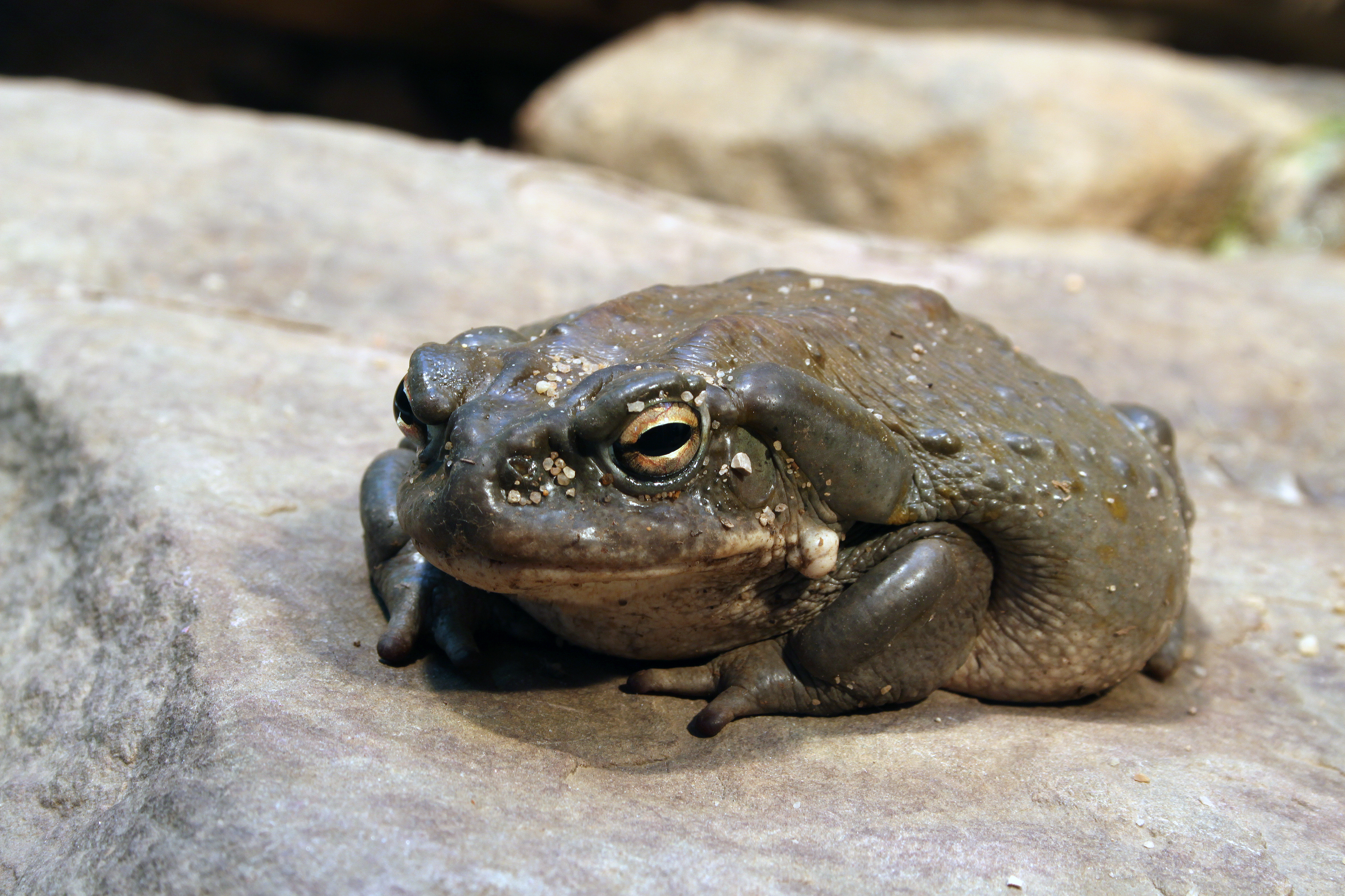 Commons:Featured pictures/Animals/Amphibians - Wikimedia Commons