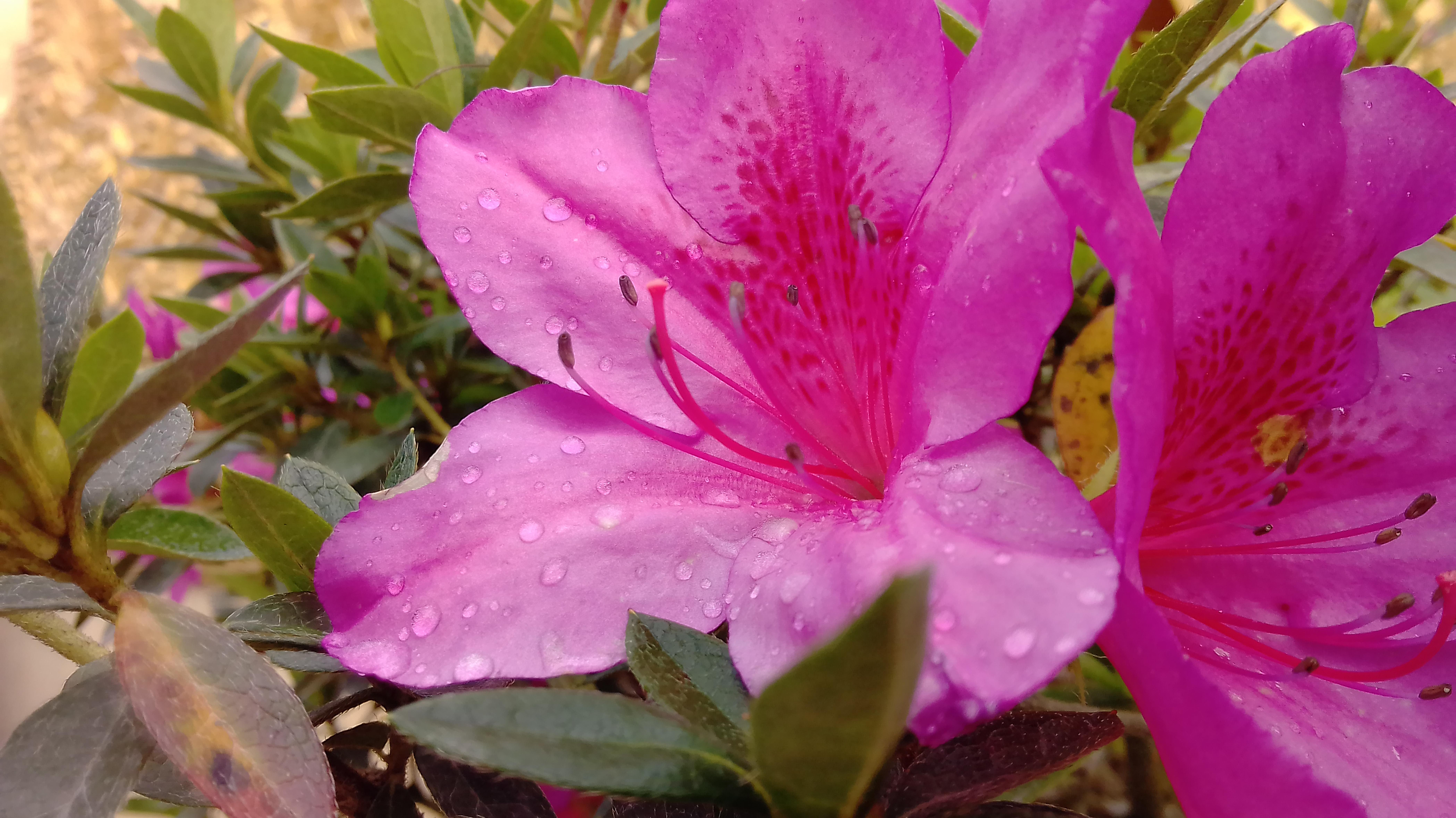 File Bunga Berwarna Merah Muda Violet Jpg Wikimedia Commons