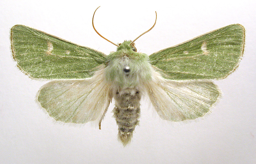 The Burren Green Moth