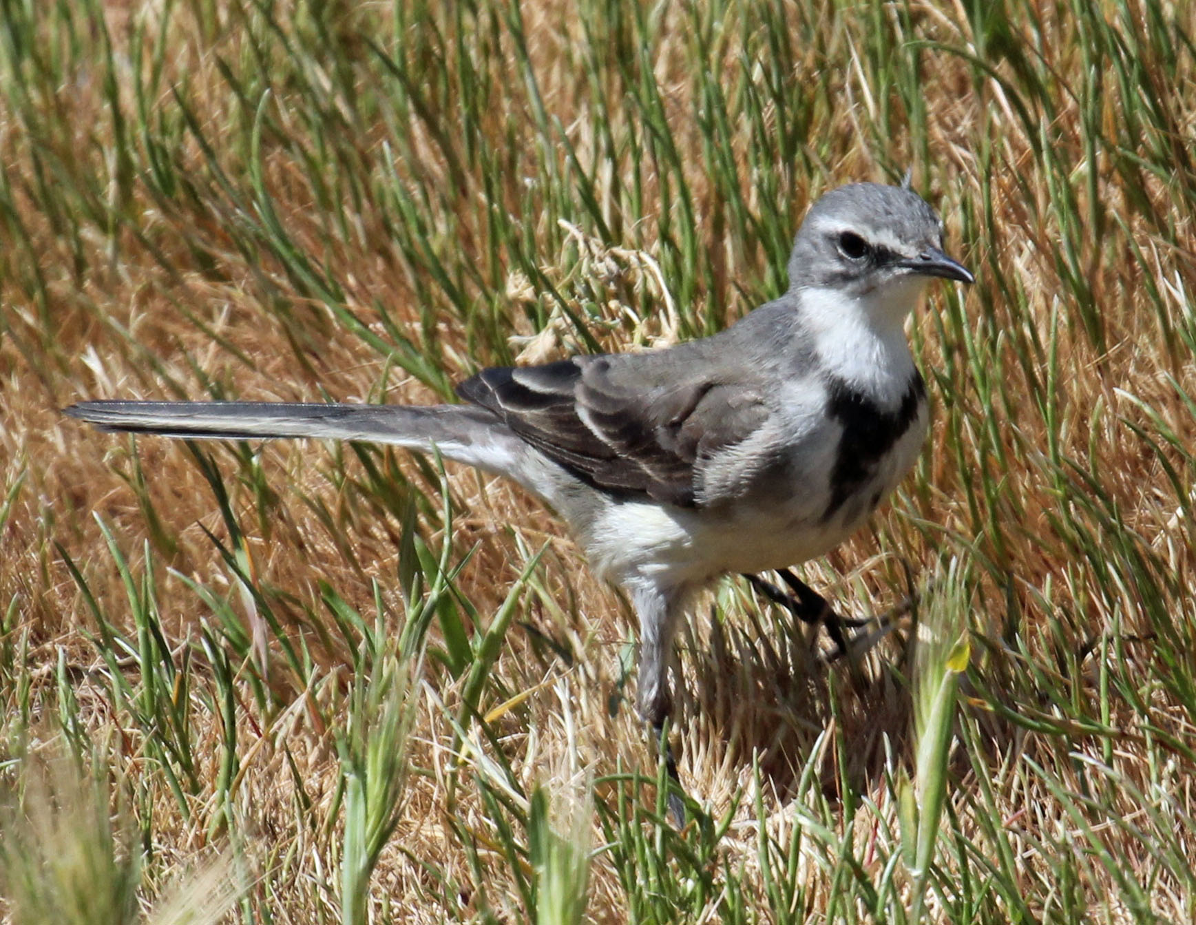 File:Cape Wagtail RWD.jpg - Wikimedia Commons