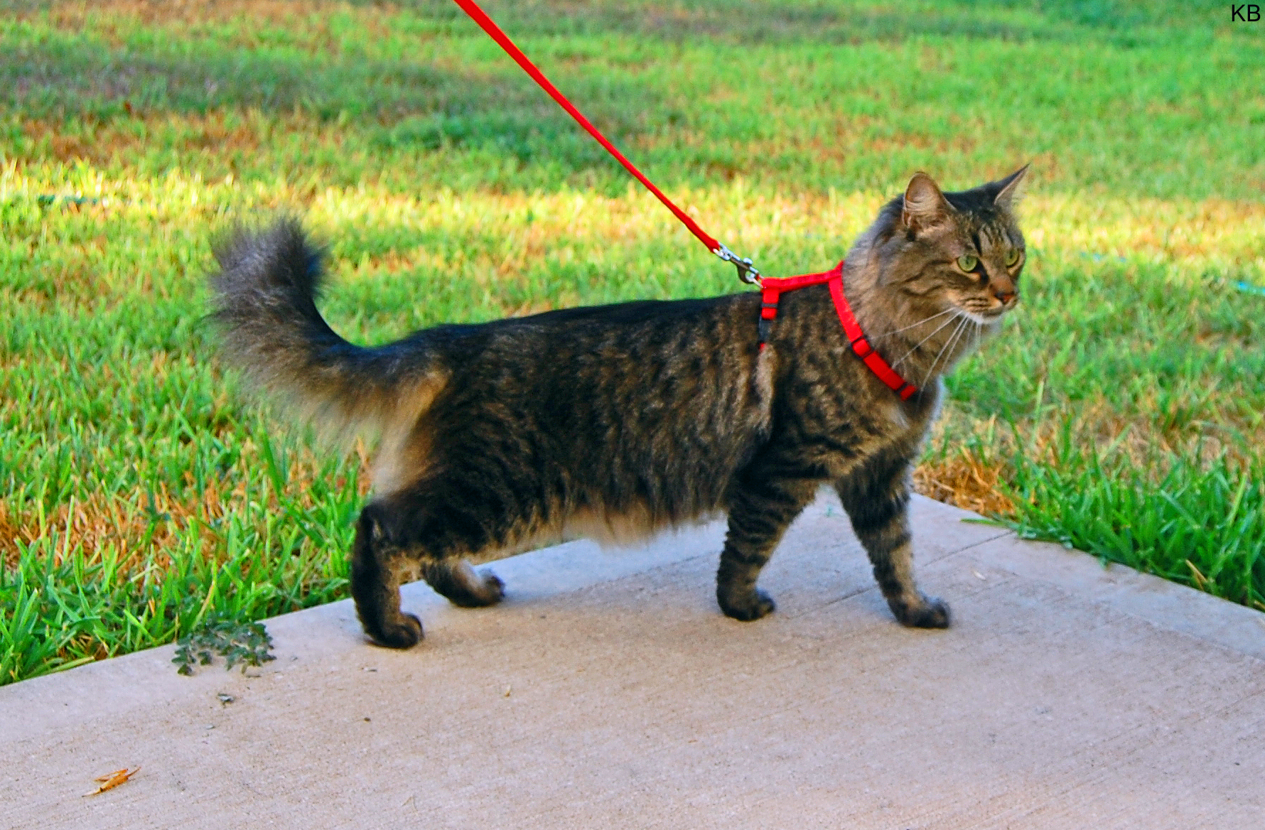 Domestic long-haired cat - Wikipedia