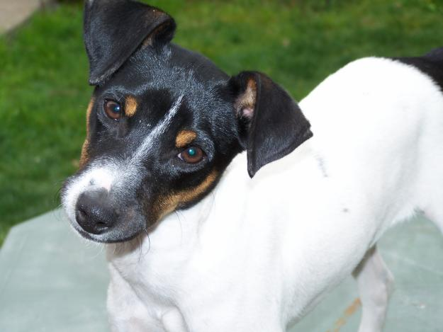 Chilean Fox Terrier