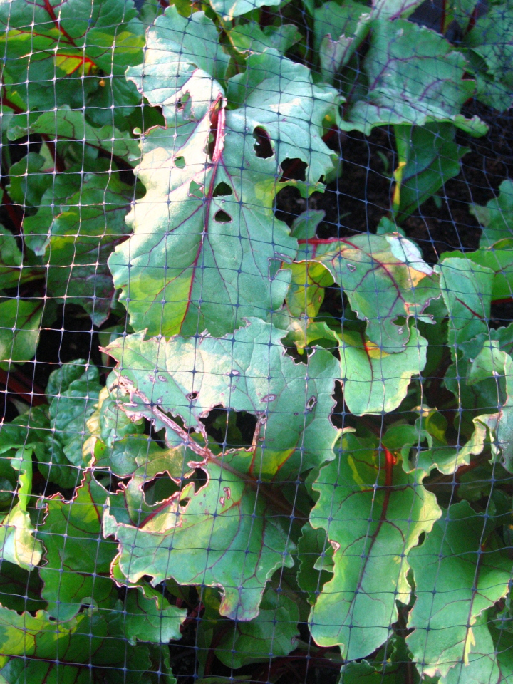http://upload.wikimedia.org/wikipedia/commons/9/95/Container_beets_with_cabbage_moth_damage.jpg
