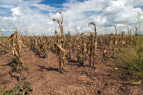 The image shows a drought-stricken corn field. The soil is cracked and parched looking, the sky is cloudy, but empty of rain, with blue showing behind the white clouds. The corn stocks are brown, bent, and dead. The only green is from a couple hardy weeds and grasses nearby. You can almost feel the heat looking at the silent scene.