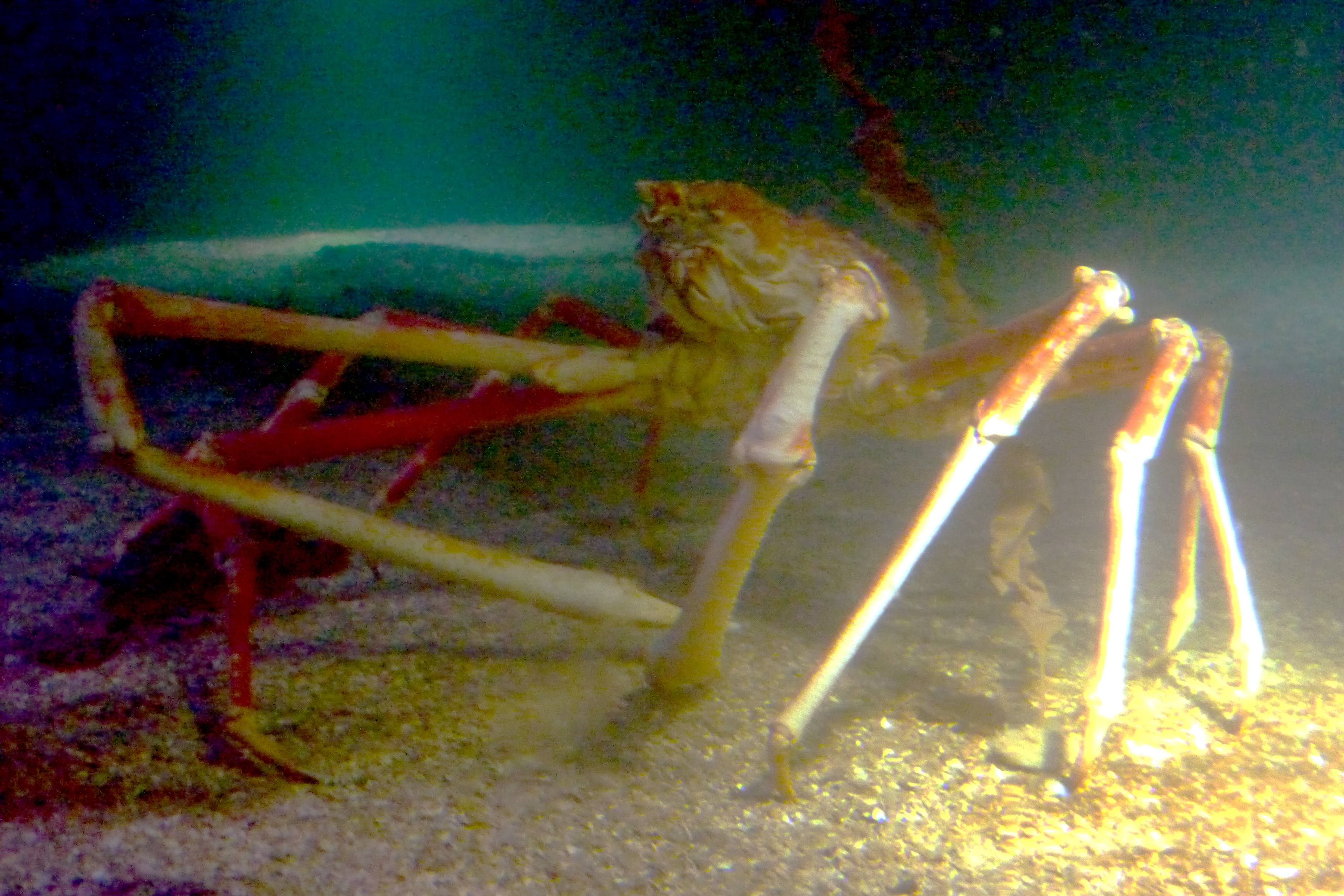 File:Crabzilla in Sea Life Scheveningen.JPG - Wikimedia Commons