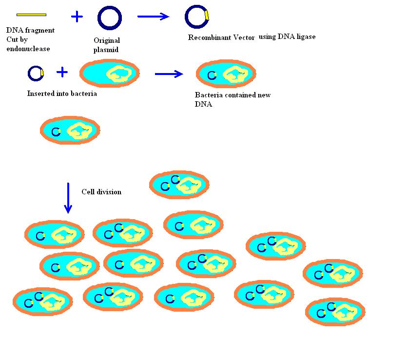 bacteria containing recombinant plasmids are often identified by which process