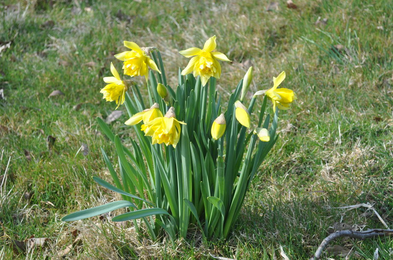 Daffodils at Covehithe - geograph.org.uk - 1776714