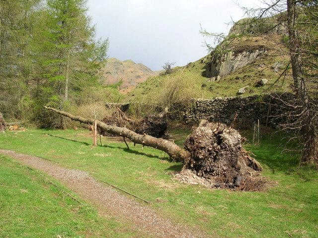 Fallen tree - Neaum Crag - geograph.org.uk - 370734