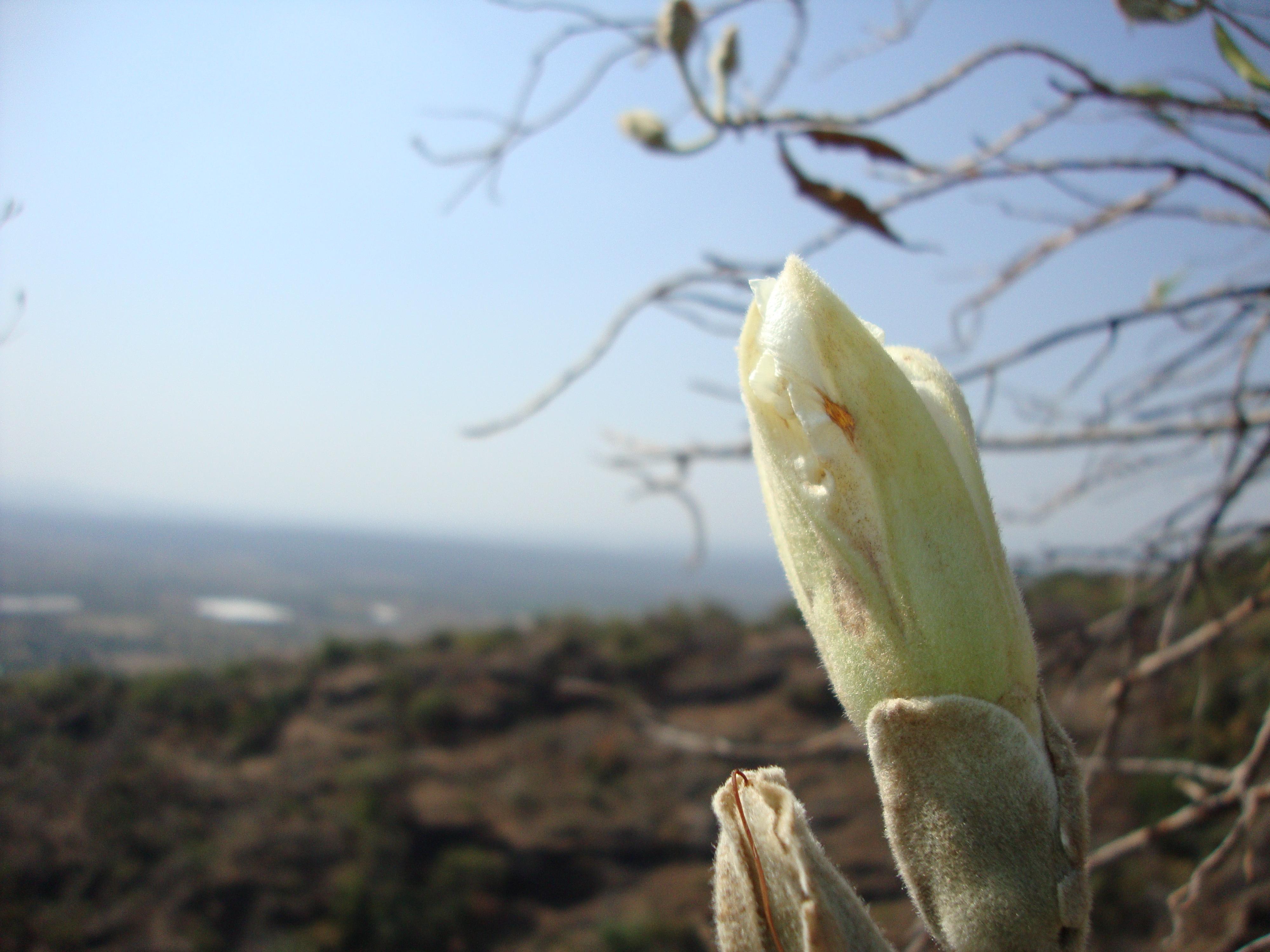File flor del arbol de casahuate muy comun en poblado de for Arbol comun