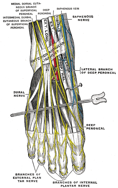 Dorsal digital nerves of foot - Wikipedia