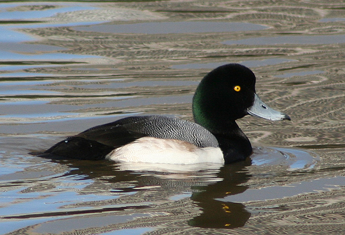 https://upload.wikimedia.org/wikipedia/commons/9/95/Greater_scaup_male.jpg