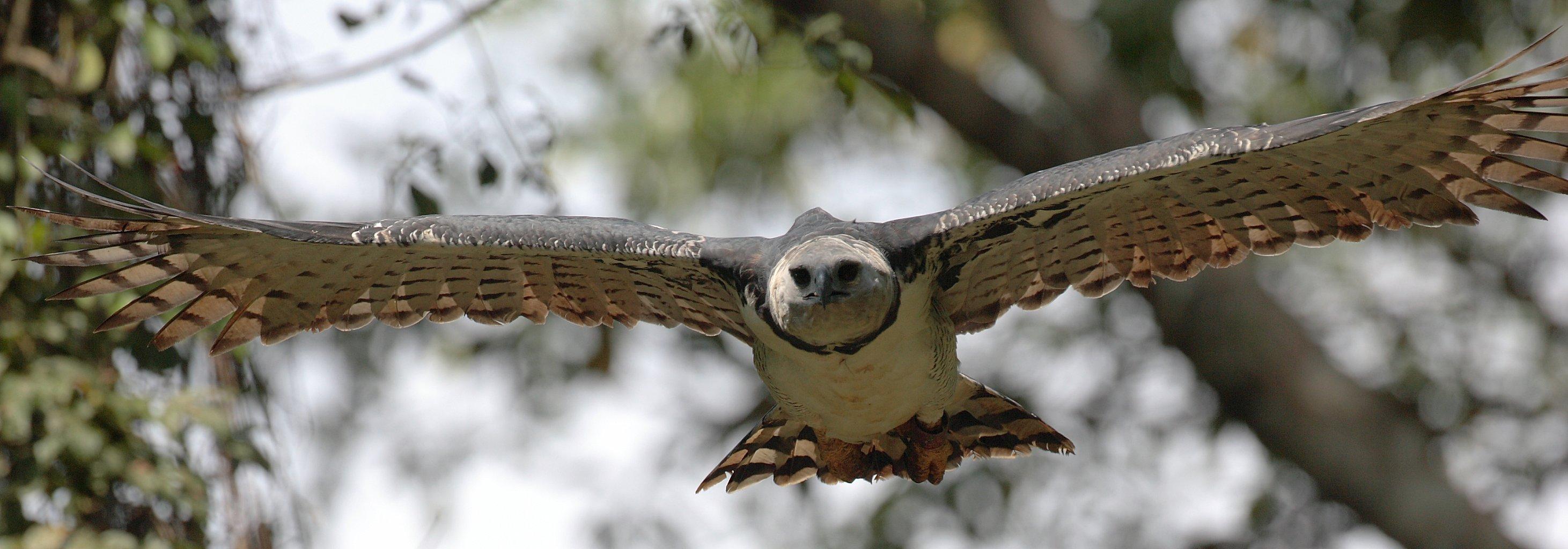 Harpy eagle hunting monkey - photo#22