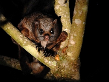 Indian Giant flying Squirrels, a threatened Species in Bhimashankar Wildlife Sanctuary