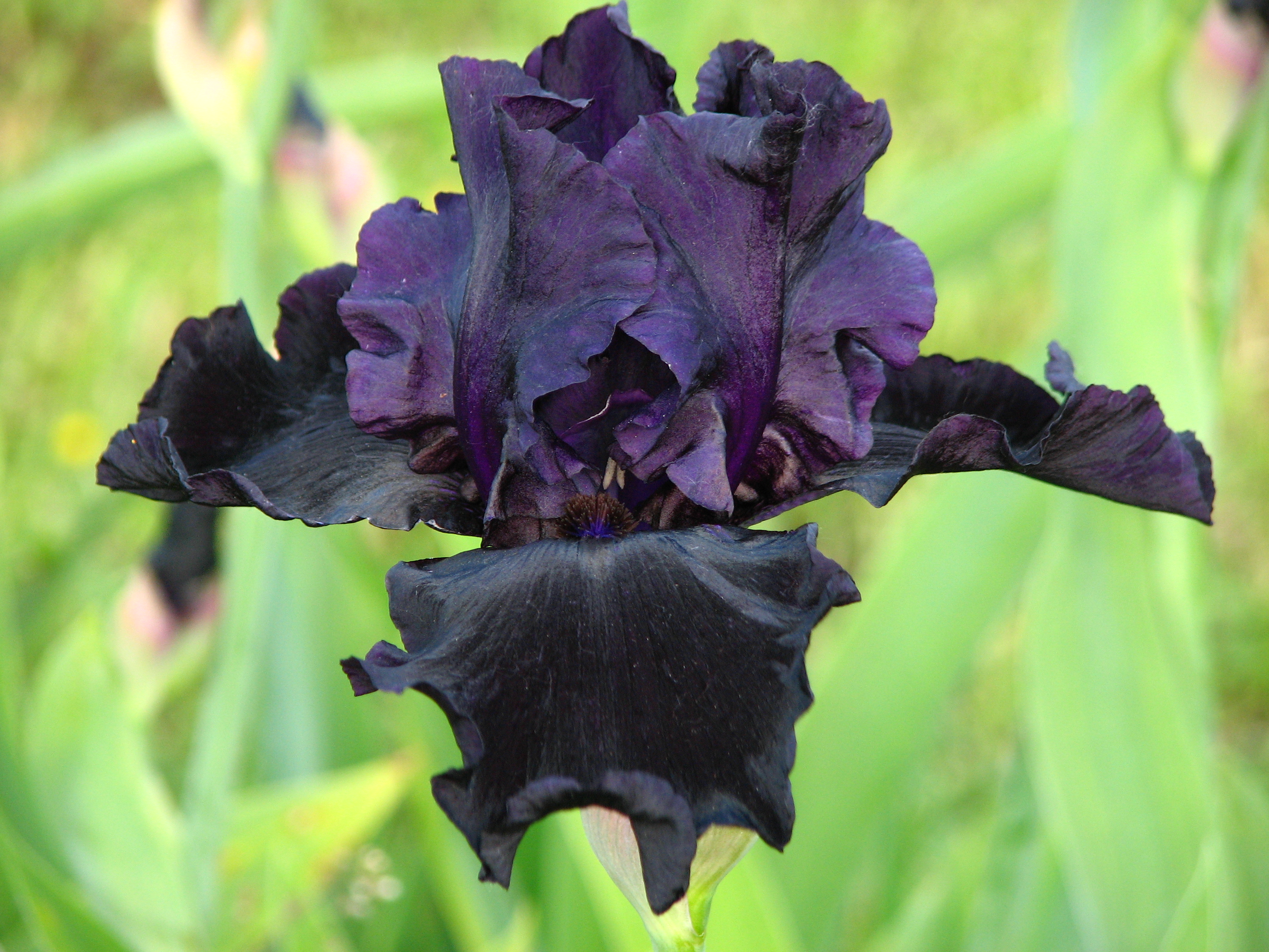 https://upload.wikimedia.org/wikipedia/commons/9/95/Iris_'Dark_Passion'_02.JPG