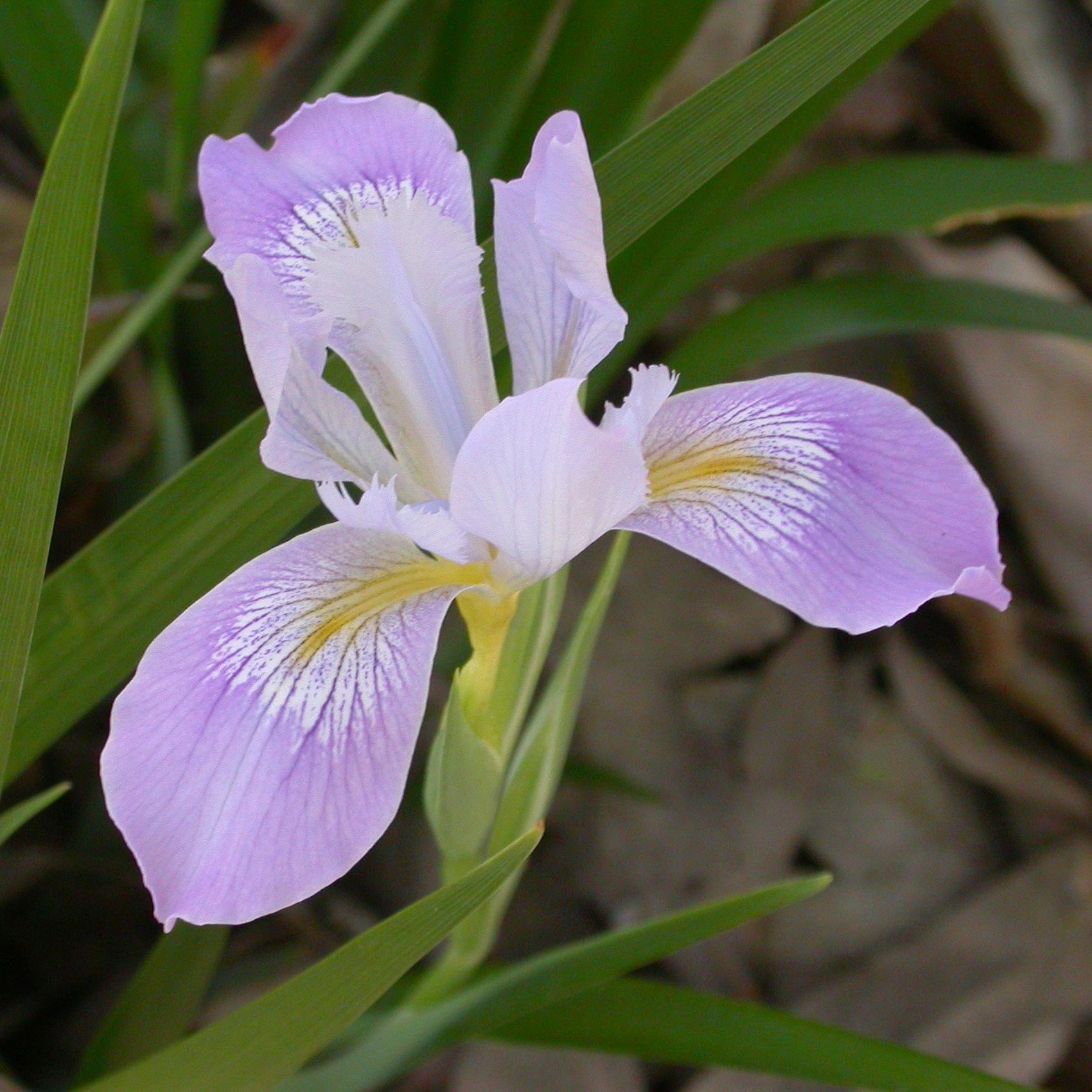 Fileiris douglasiana flower 2003 03 17g wikimedia commons fileiris douglasiana flower 2003 03 17g size of this izmirmasajfo