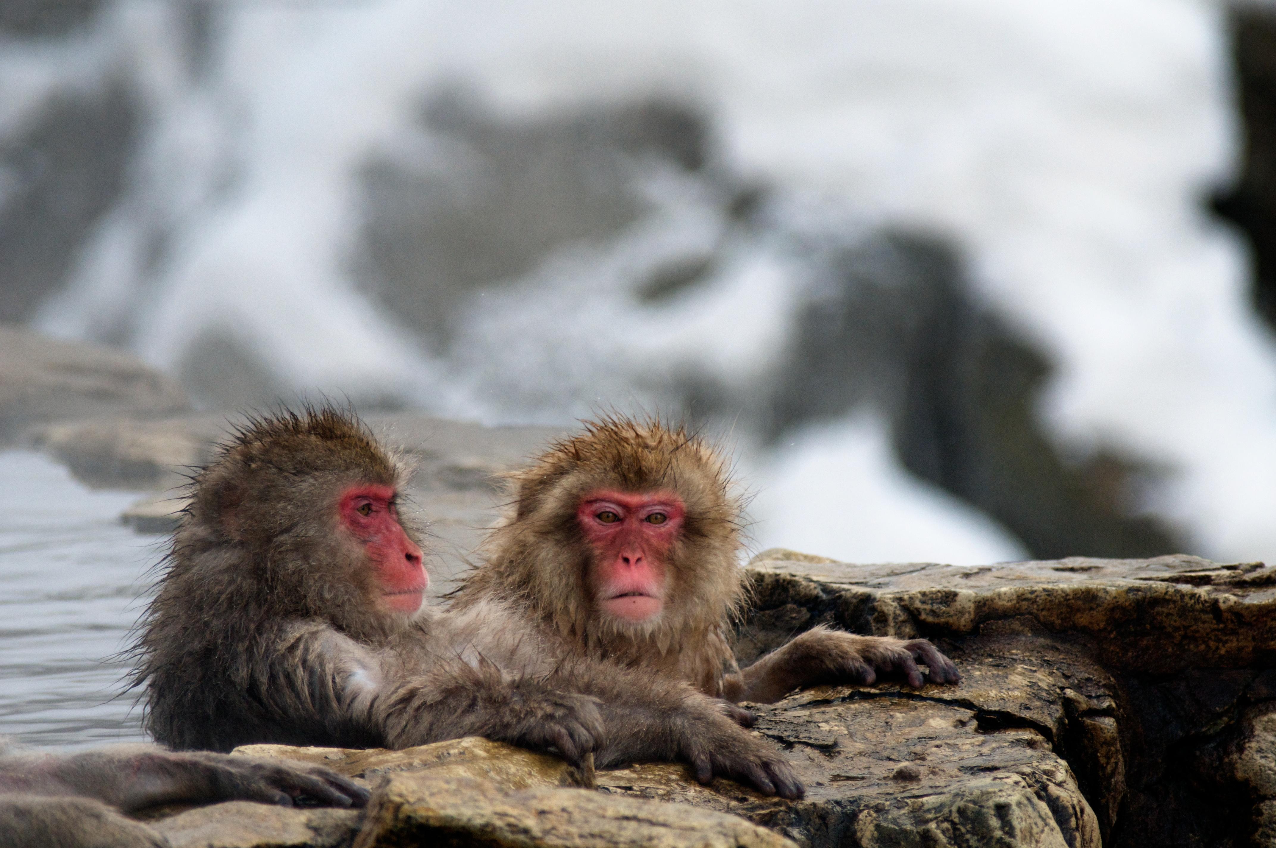 Baños Japoneses Antiguos:Japanese Macaques Monkeys