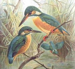 Fitxer:Kingfisher.JPG