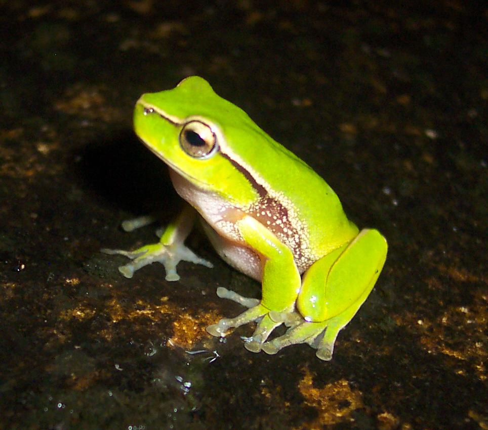 southern leaf green tree frog wikipedia