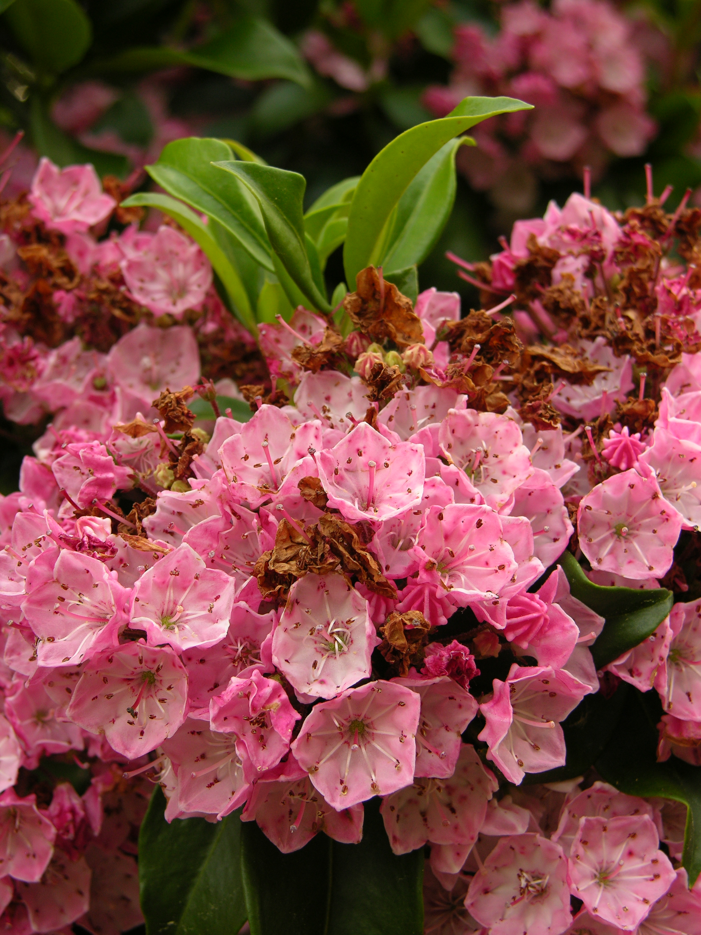 File Mountain Laurel Kalmia latifolia Flowers 2448px Wikimedia mons