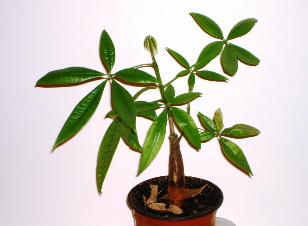 File pachira aquatica jpg wikimedia commons - Pachira pianta ...