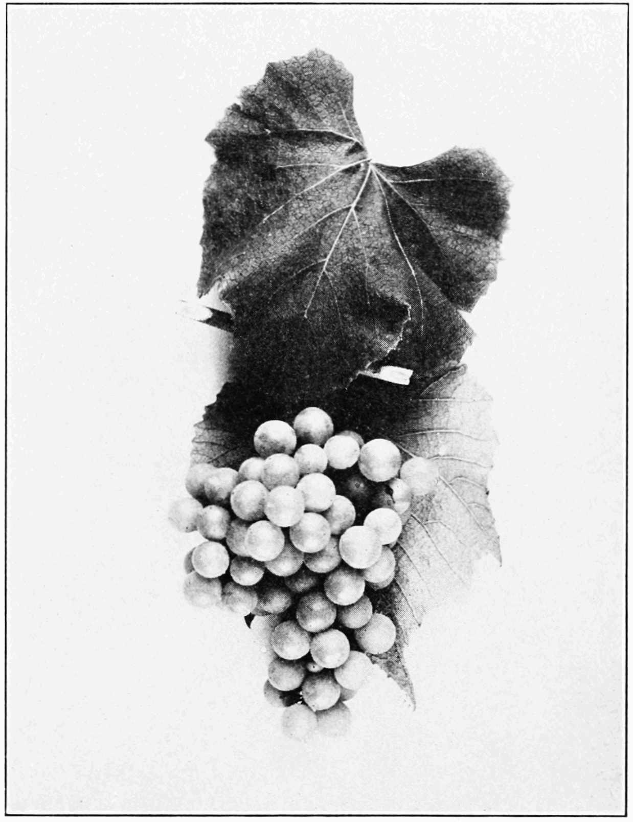PSM V82 D351 Leaf and fruit of white cultivated lumbrusca.png