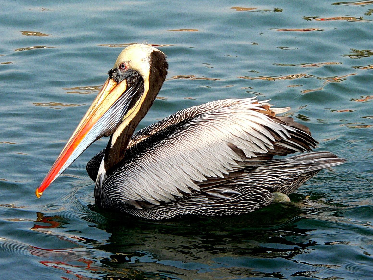 Pelecanus thagus wikipedia la enciclopedia libre - Fotos de pelicanos ...