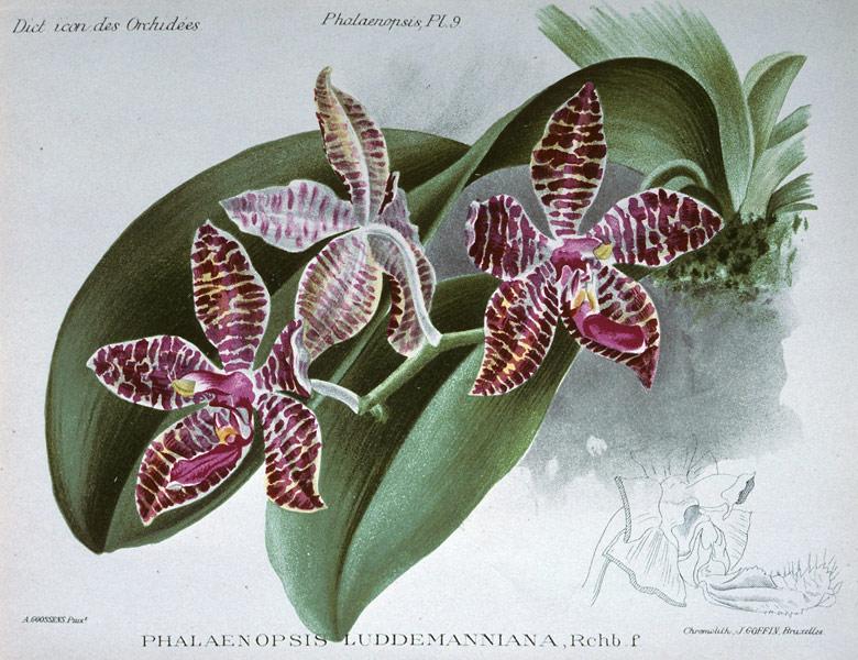 phalaenopsis lueddemanniana wikipedia. Black Bedroom Furniture Sets. Home Design Ideas
