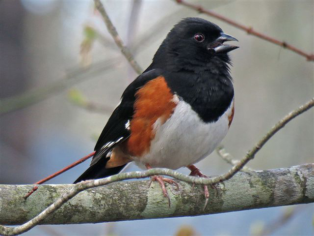 Image result for rufous sided towhee