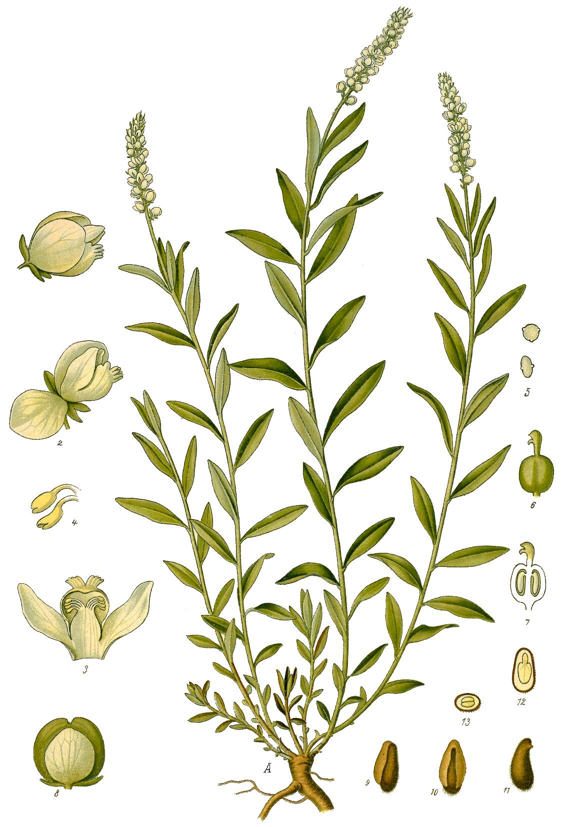 File Polygala Senega From F E Kohler S Medizinal Pflanzen Png