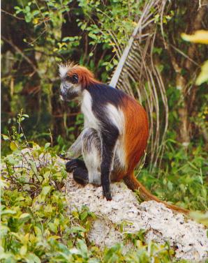 Piliocolobus kirkii (Zanzibar Red Colobus), Th...