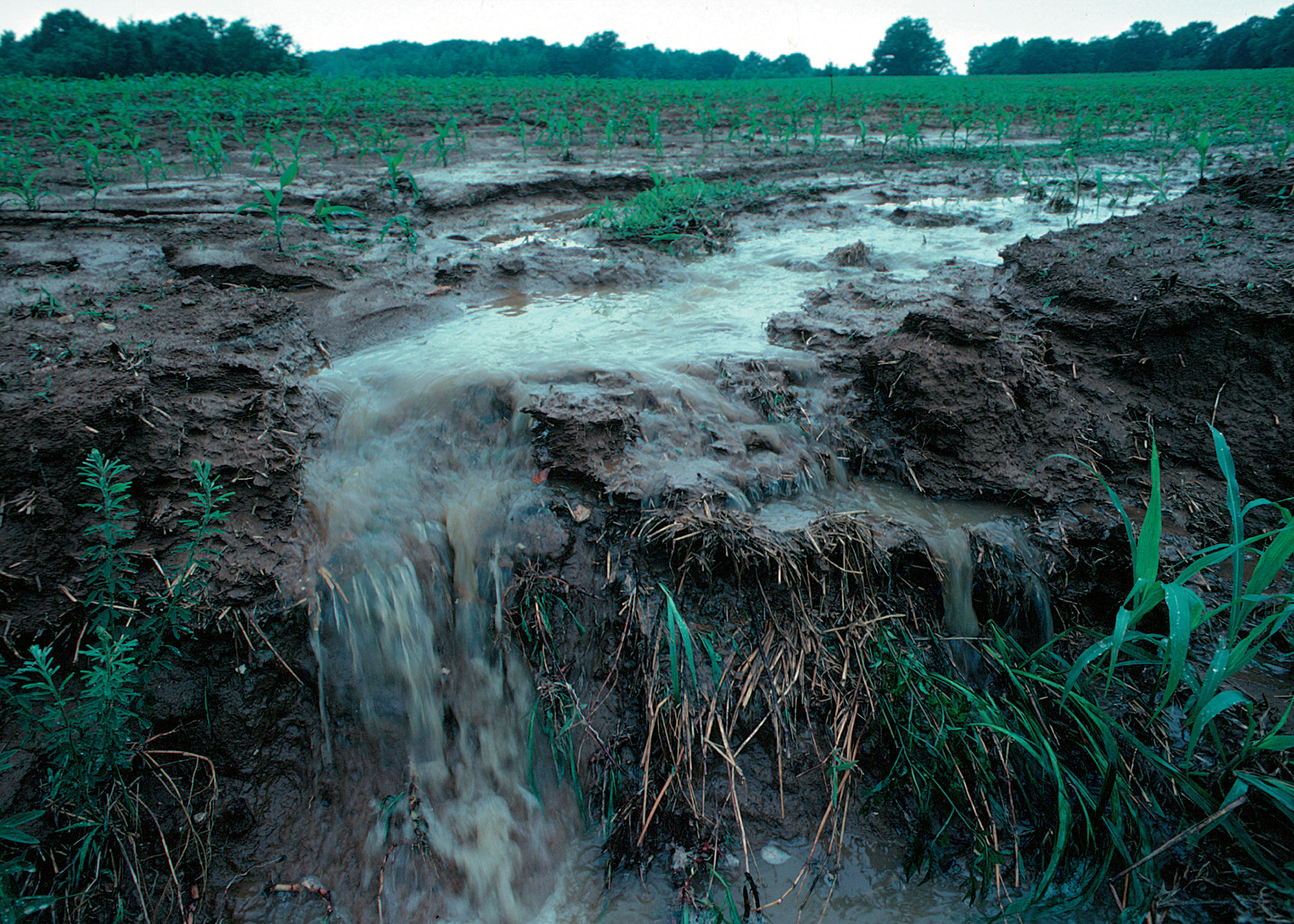 Water pours, from fields of green crop in the background, down a muddy bank towards the foreground