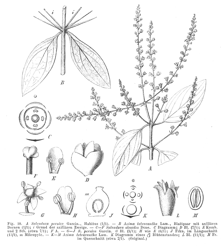 Salvadora Persica Seeds Salvadora Persica