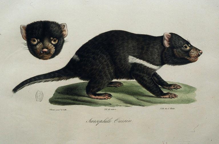 Ficheiro:Sarcophile oursin F.Cuvier 1837.jpg