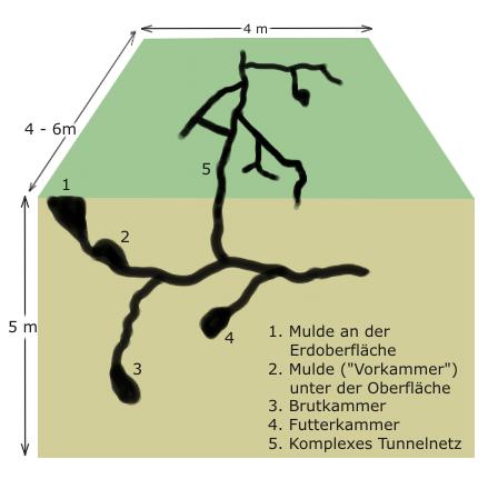 Schema gryllotalpidae bau