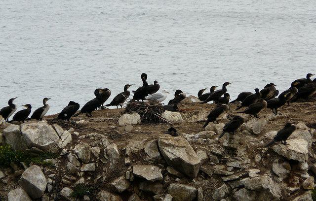 Seabirds on Marsden Rock - geograph.org.uk - 918270