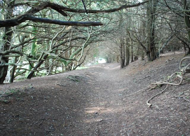 Sunken lane, Kingley Vale - geograph.org.uk - 1503612