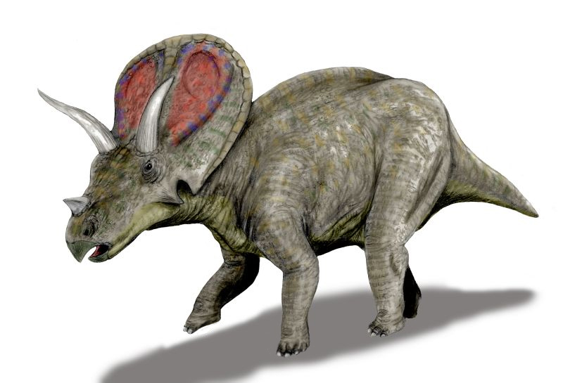The dinosaur fossil recently found in Thornton is in fact this creature - a torosaurus, not a triceratops as originally thought. (By Nobu Tamura (http://spinops.blogspot.com) (Own work) CC BY 3.0 (http://creativecommons.org/licenses/by/3.0)], via Wikimedia Commons)