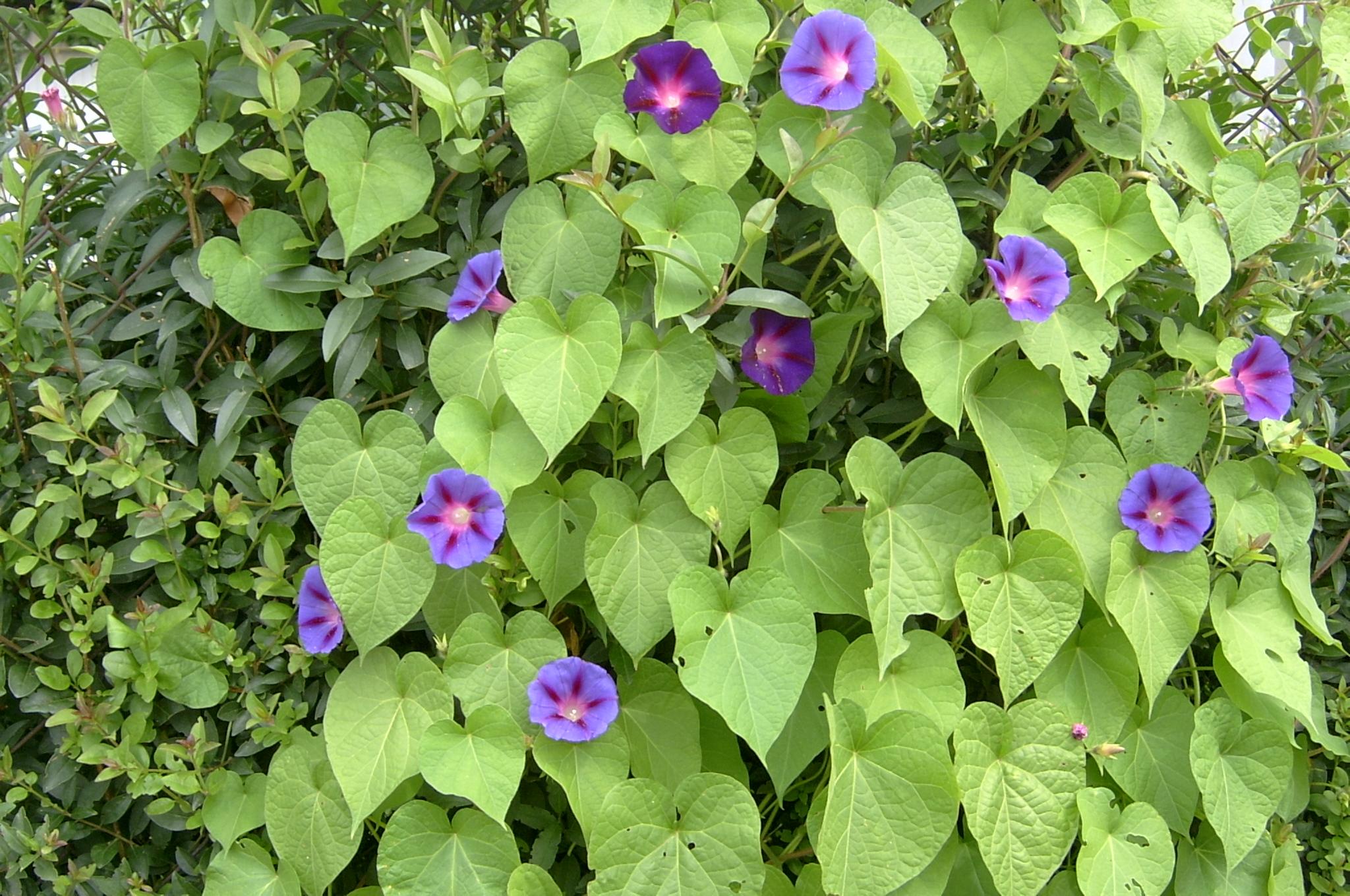 File trichterwinde ipomoea purpurea reihe 4 for Ipomea purpurea