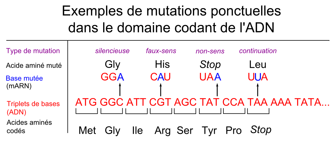 File:Types of mutations 01-fr.png - Wikimedia Commons