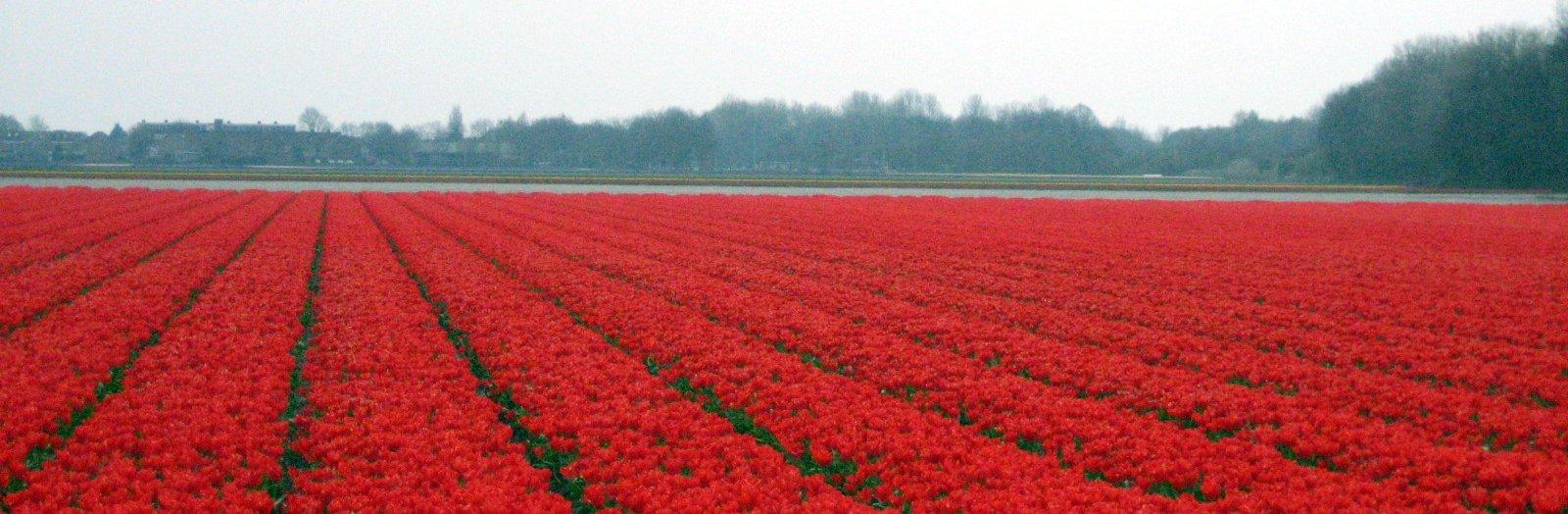 File:Veld met rode tulpen.jpeg - Wikimedia Commons