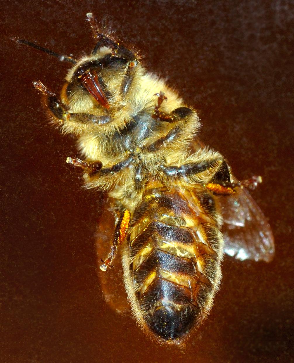 Lebah - Wikipedia bahasa Indonesia, ensiklopedia bebas