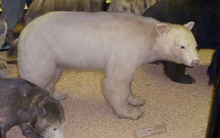 Pa. Hunter Bags Rare Albino Black Bear - DVD Talk Forum