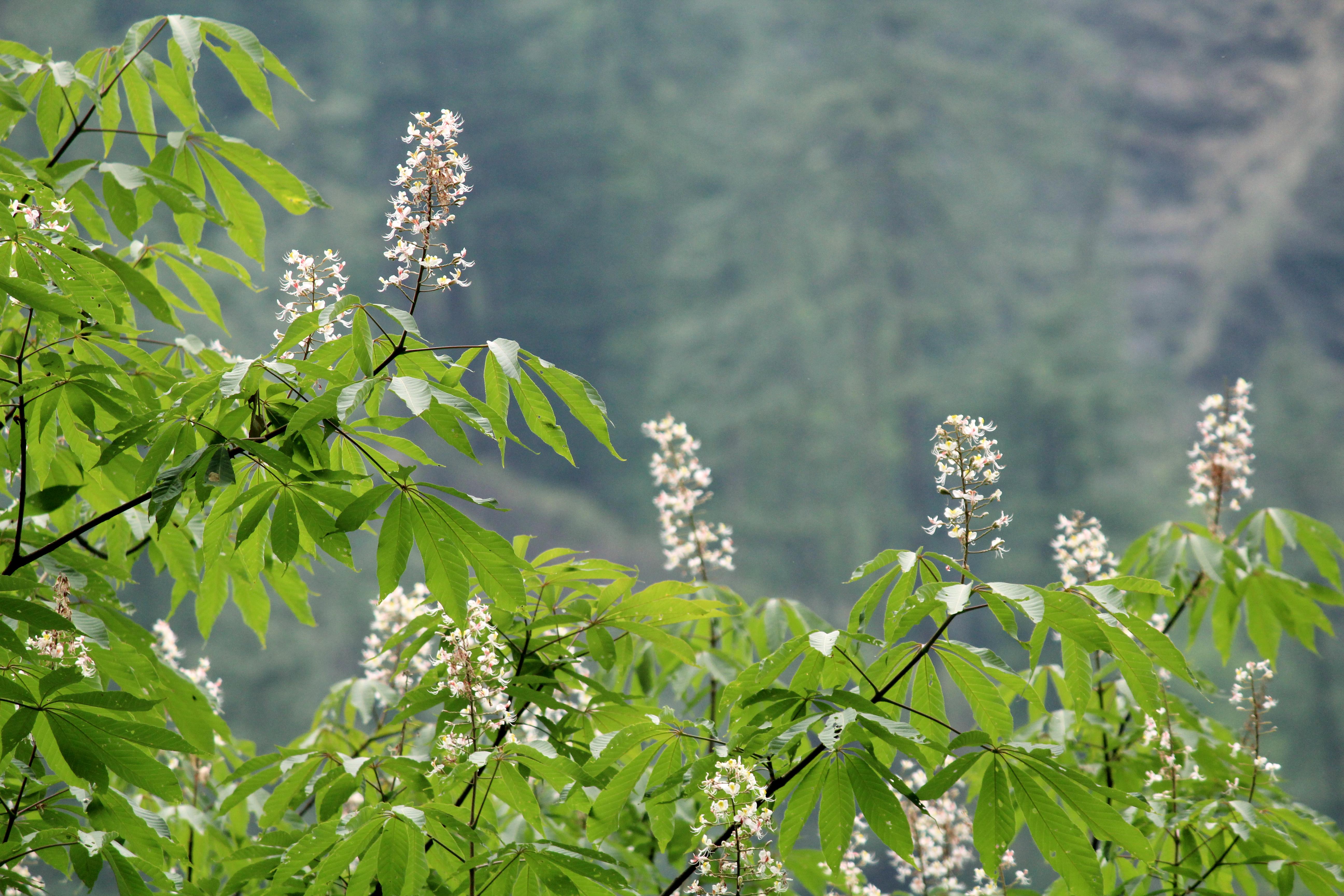 Filewhite Long Flowersg Wikimedia Commons