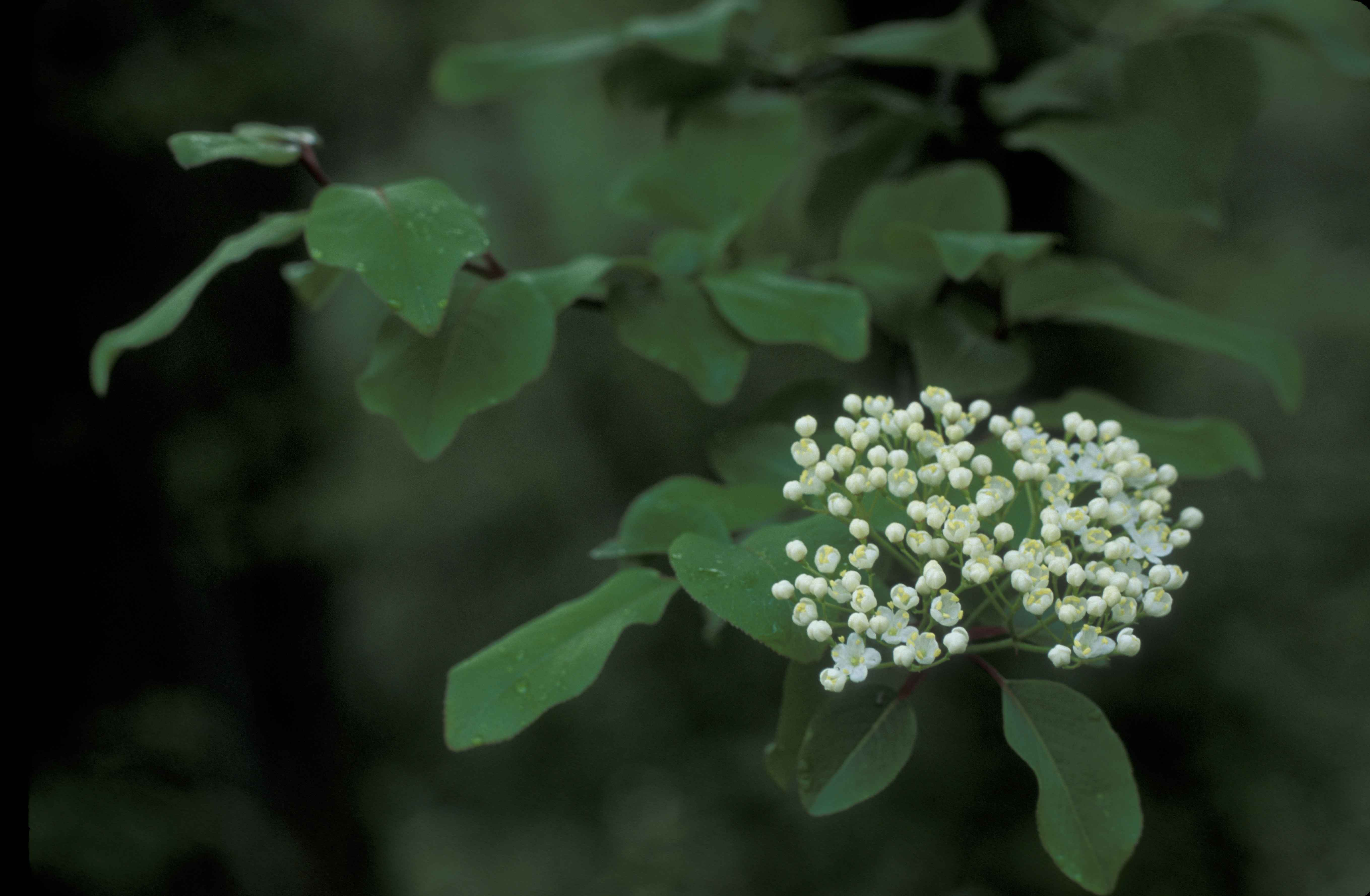 File White Flowers And Green Leaves Of A Blackhaw Tree Viburnum Prunfolium Jpg