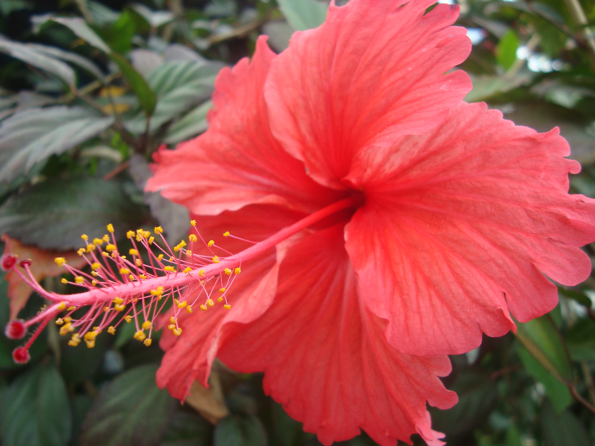 Hibiscus flower meaning savingourboysfo filehibiscus flower wikimedia commons natural flower izmirmasajfo